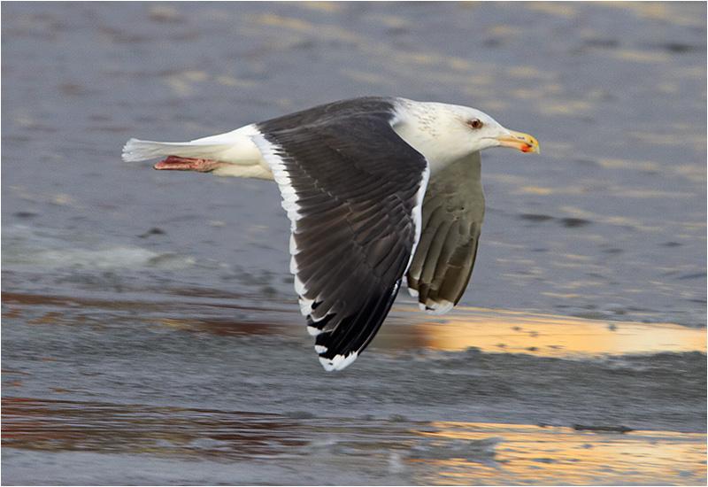Havstrut (Great Black-backed Gull), Göteborgs Fiskhamn