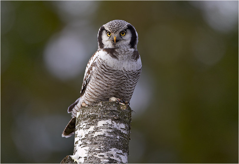 Hökuggla (Northern Hawk Owl), Öjersbo, Älvsåker, Halland
