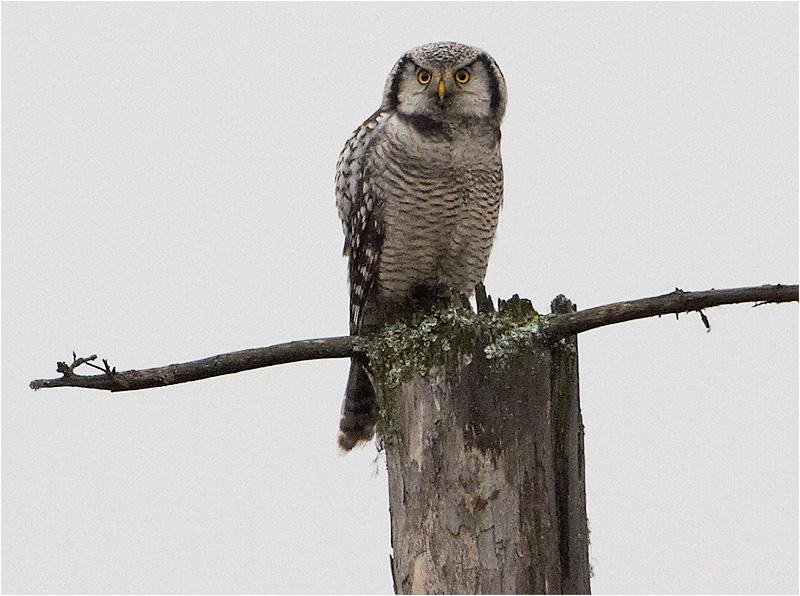 Hökuggla (Northern Hawk Owl), Mossbodarna, Borlänge