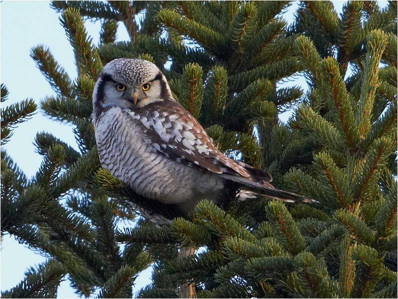 Hökuggla (Northern Hawk Owl), Gunnestorps mosse, Hisingsparken