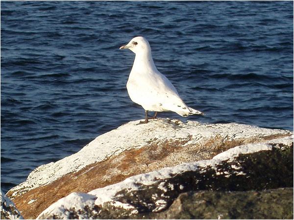 Ismås (Ivory Gull), Lerkils hamn, Halland