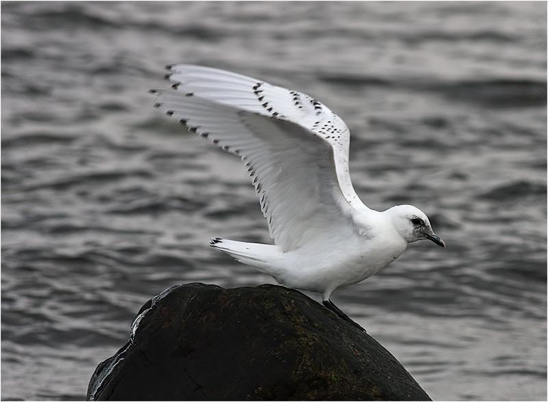 Ismås (Ivory Gull), Simrishamns hamn, Skåne