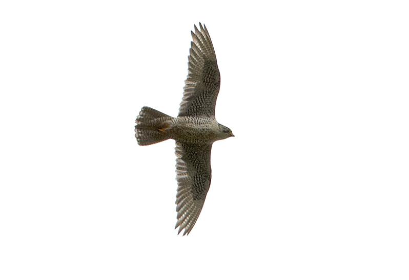 Jaktfalk (Gyr Falcon), Njupeskär, Dalarna