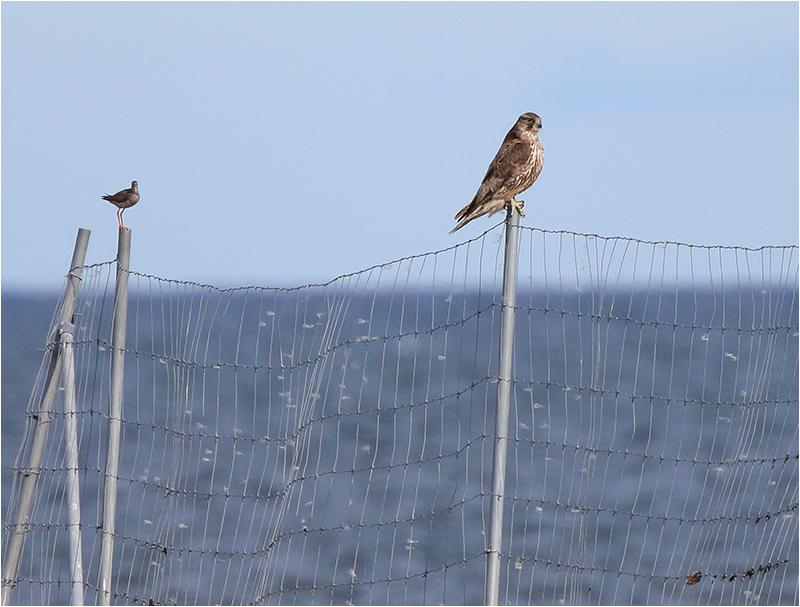 Jaktfalk (Gyr Falcon), Ölands Södra Udde, Öland