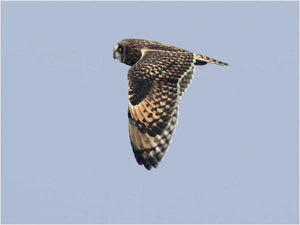 Jorduggla (Short-eared Owl), Näsbybadet, Öland