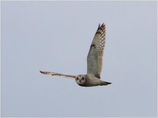 Jorduggla (Short-eared Owl), Gräsgårds hamn, Öland