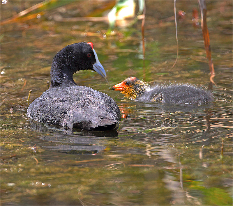 Kamsothöna (Red-knobbed Coot), S'Albufera Natural Park, Mallorca