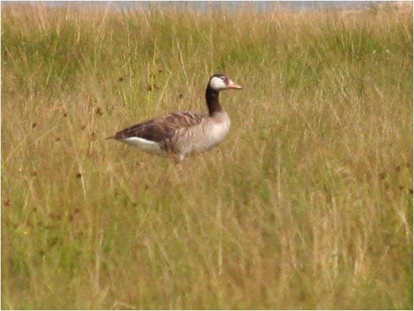 Kanadagås x Grågås (Canada Goose x Greylag Goose), Kyrkviken, mellan Karlskoga o Storfors, Värmland