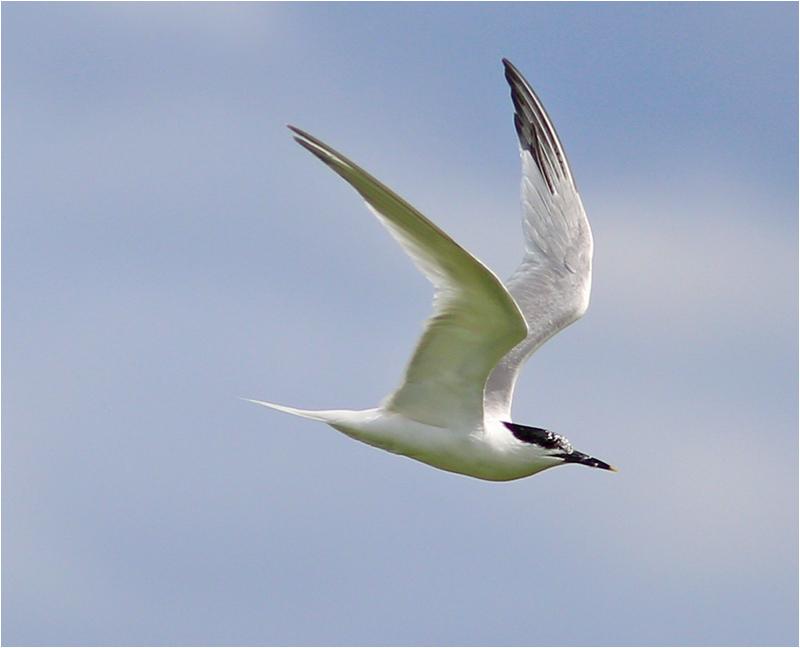 Kentsk tärna (Sandwich Tern), Getteröns naturreservat, Halland