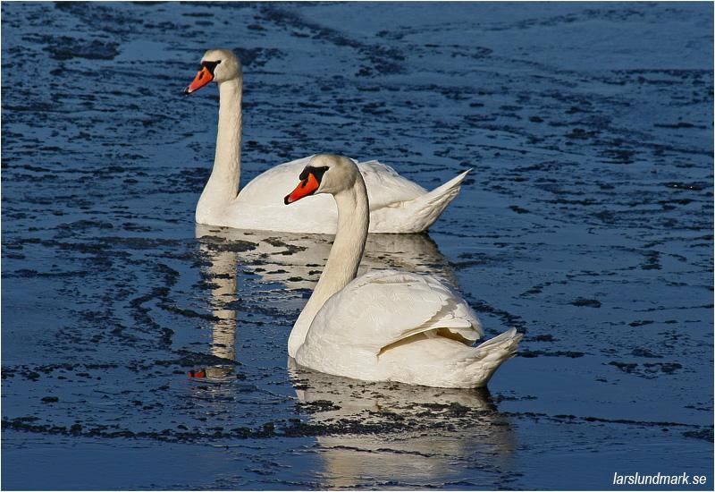 Knölsvan (Mute Swan), Lilla Amundön, Göteborg