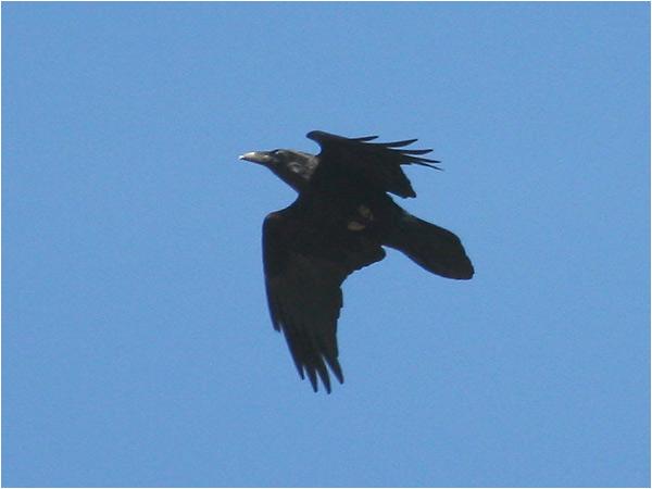 Korp (Raven), Gelleråsen, norr om Karlskoga, Värmland