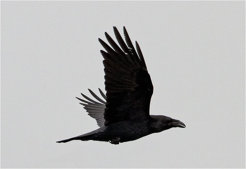 Korp (Raven), Vallda Sandö, Halland