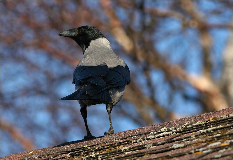 Kråka (Crow), Askimsbadet, söder om Göteborg