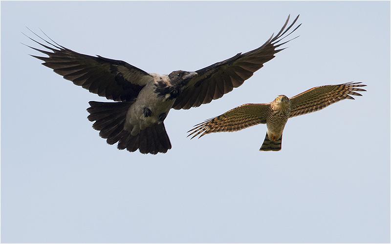 Kråka (Crow) uppvaktad av sparvhök, Havshuvudet, Stora Amundö, söder om Göteborg
