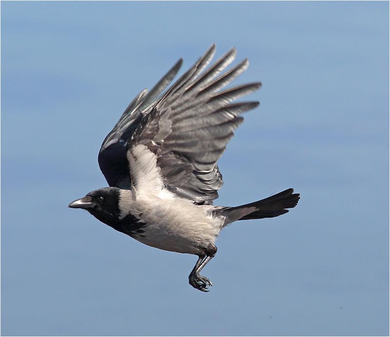 Kråka (Crow), Glommens Sten, Halland