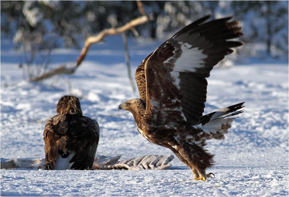 Kungsörn (Golden Eagle), mellan Karlskoga och Kristinehamn, Värmland