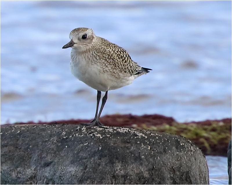 Kustpipare (Grey Plover), Sebybadet, Öland