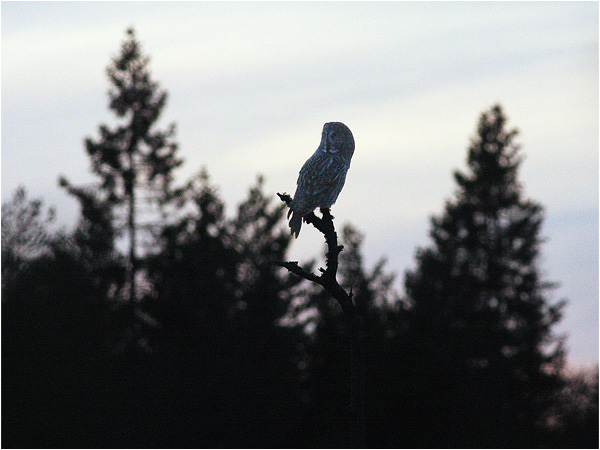 Lappuggla (Great Grey Owl), Halle Hunneberg, Vänersborg