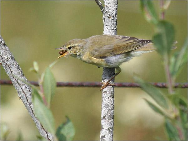 Lövsångare (Willow Warbler), Fisksjön, Karlskoga, Värmland