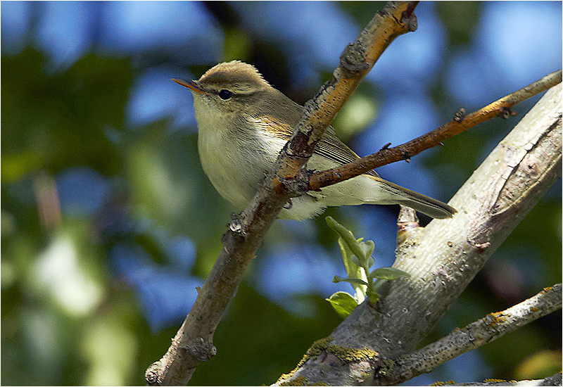 Lundsångare (Greenish Warbler), Stenåsabadet, Öland