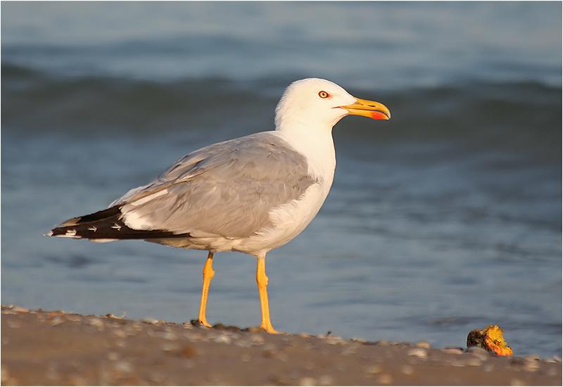 Medelhavstrut (Yellow-legged Gull), Cavallino, Italien