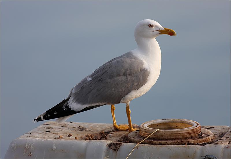Medelhavstrut (Yellow-legged Gull), Lesbos, Grekland