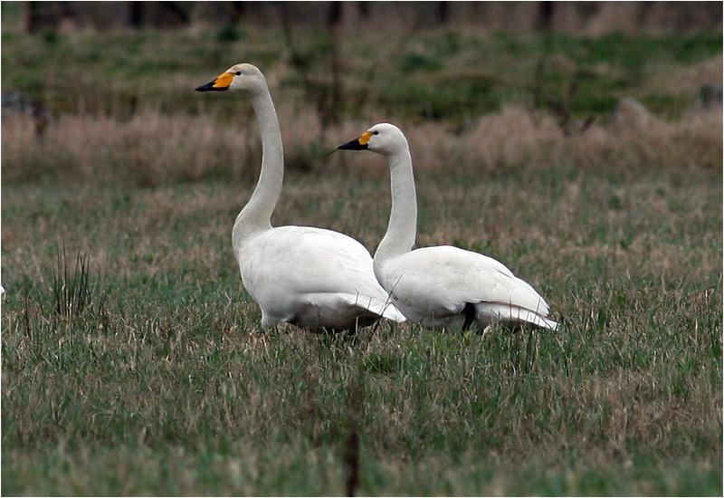 Mindre sångsvan (Tundra Swan), Vallda Sandö, Kungsbacka, Halland