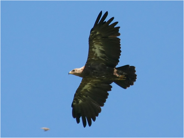 Mindre skrikörn (Lesser Spotted Eagle), Träfors, Värmland