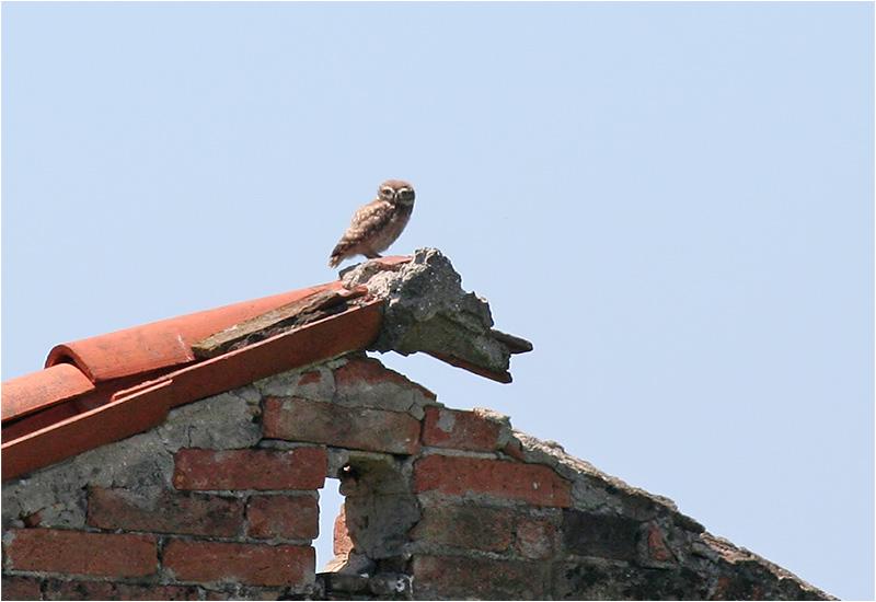 Minervauggla (Little Owl), Cavallino, Italien