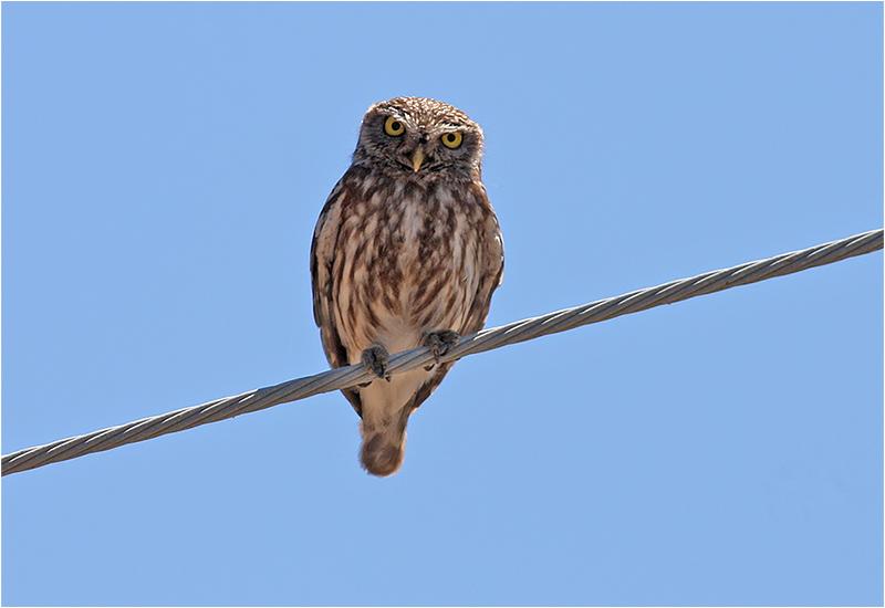Minervauggla (Little Owl), Lesbos, Grekland