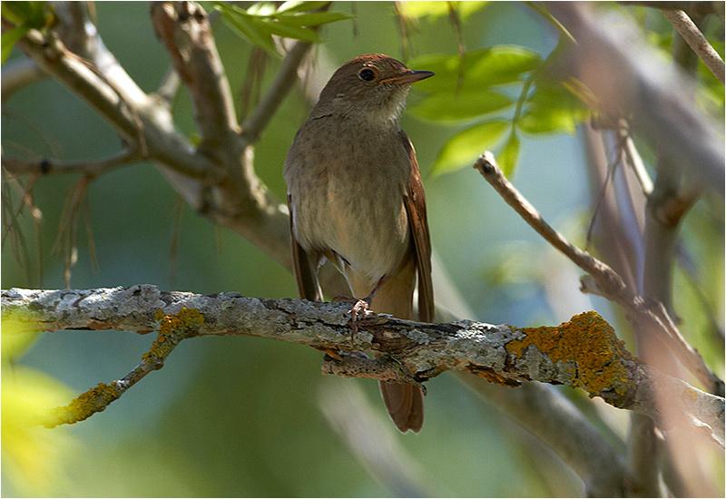 Näktergal (Thrush Nightingale), Ekelunda, Öland