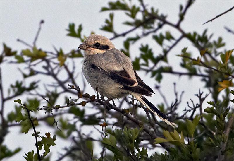 Ökenvarfågel (Southern Grey Shrike), Bondängen, Ottenby, Öland