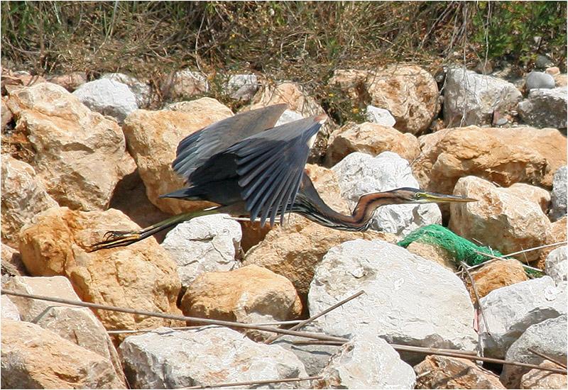 Purpurhäger (Purple Heron), Cavallino, Italien