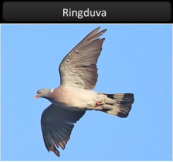 Ringduva vid Stora Amundö