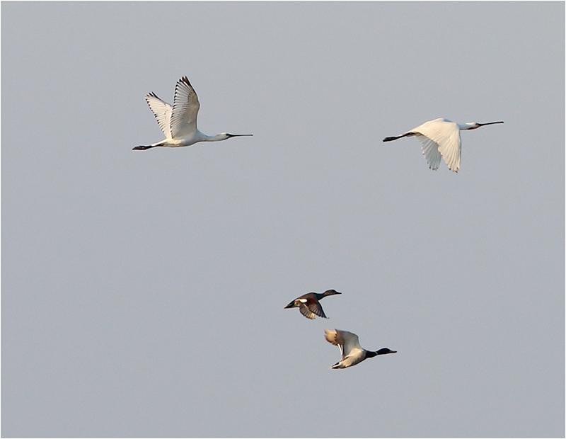 Skedstork (Spoonbill), Fågeltornsparkeringen, Getteröns naturreservat, Halland