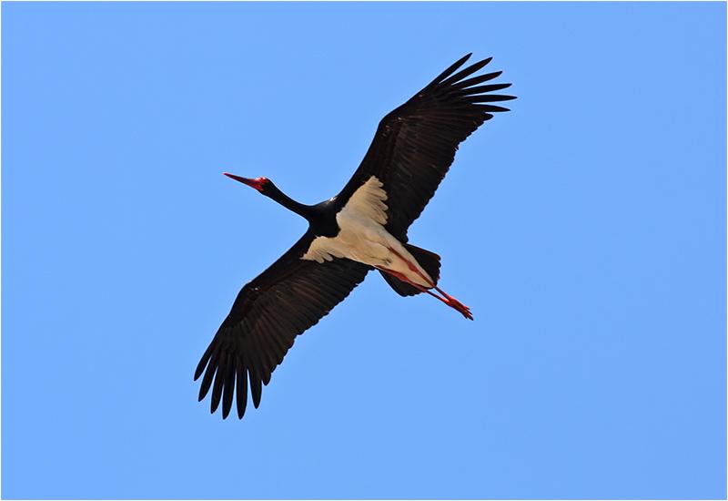 Svart stork (Black Stork), Kalloniområdet, Lesbos, Grekland