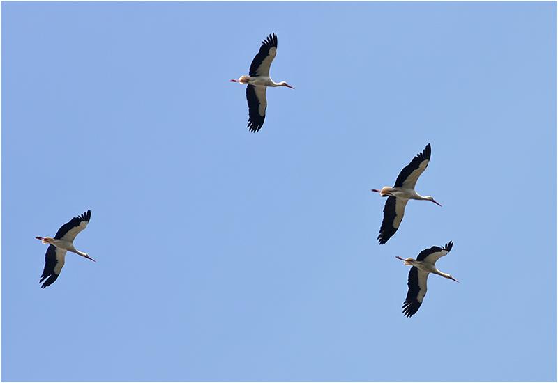 Vit stork (White Stork), Skagen, Danmark
