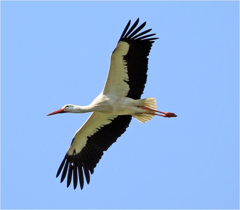 Vit stork (White Stork), Fulltofta, Skåne