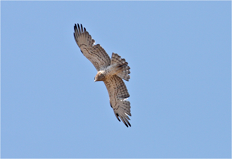 Ormörn (Short-toed Eagle), Kalloni Saltpans, Lesbos, Grekland
