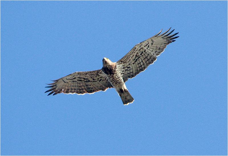 Ormörn (Short-toed Eagle), Skanörs Ljung, Falsterbo, Skåne