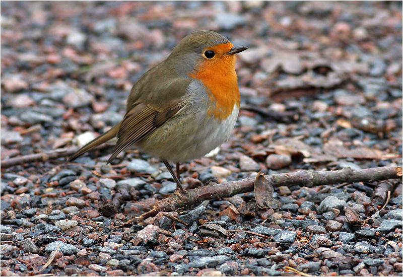 Rödhake (Robin), Stora Amundö, söder om Göteborg