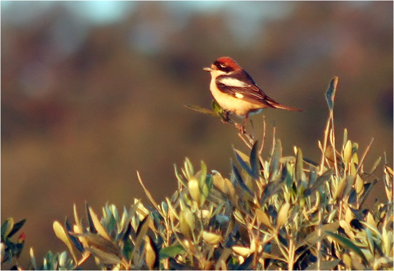 Rödhuvad törnskata (Woodchat Shrike), Rethymnon, Kreta