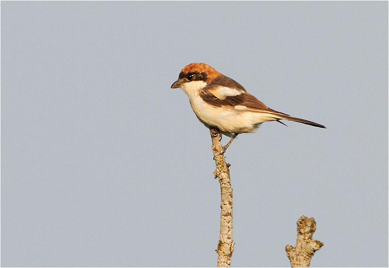 Rödhuvad törnskata (Woodchat Shrike), Kvinnsgröta, Öland