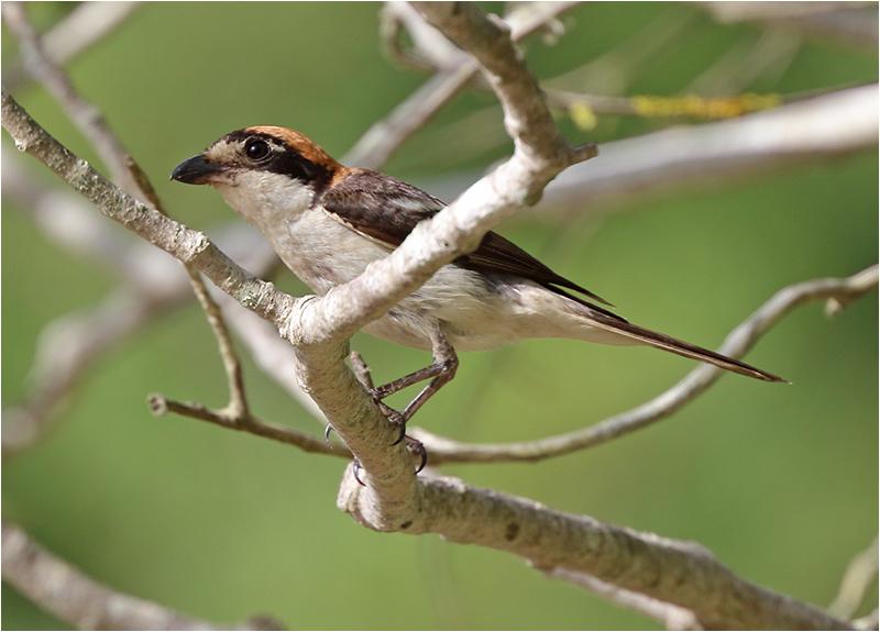 Rödhuvad törnskata (Woodchat Shrike), S'Albuferia, Mallorca, Spanien