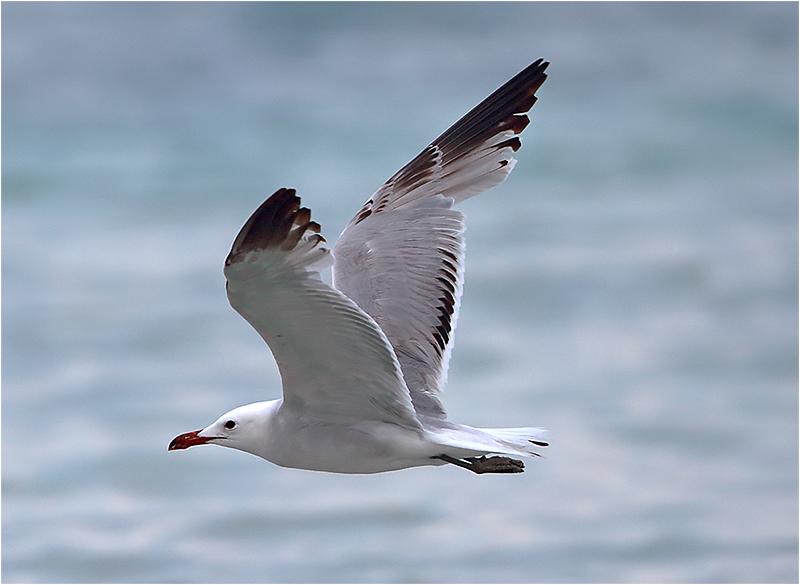 Rödnäbbad trut (Audouin's gull), Port de Alcudia, Mallorca