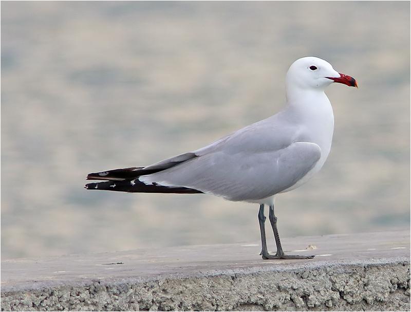 Rödnäbbad trut (Audouin's gull), Puerto de Pollencia, Mallorca