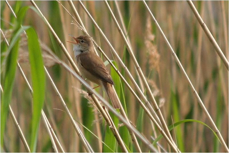 Rörsångare (Reed Warbler), Amundövik, söder om Göteborg