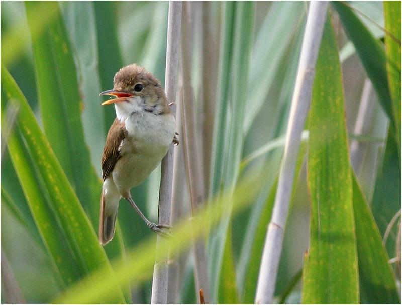 Rörsångare (Reed Warbler), Cavallino, Italien