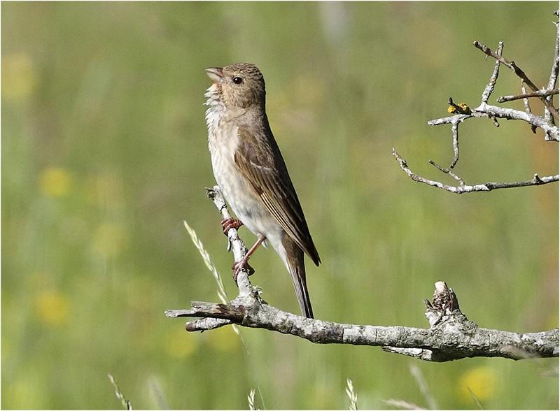 Rosenfink (Common Rosefinch), Stora Amundö, söder om Göteborg