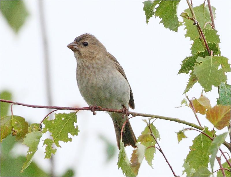 Rosenfink (Common Rosefinch), Övre Svärdsjö, Borlänge, Dalarna